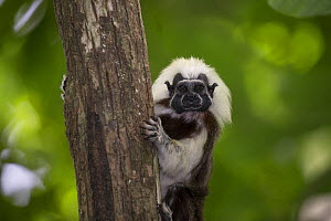 Cotton-top tamarin (Saguinus oedipus) looking at camera whilst holding on to tree trunk. Northern Colombia.  -  Suzi Eszterhas