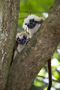 Cotton-top tamarin (Saguinus oedipus), two sitting in tree, looking downwards. Northern Colombia.  -  Suzi Eszterhas