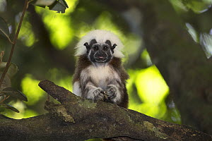 Cotton-top tamarin (Saguinus oedipus) sitting in tree, looking at camera. Northern Colombia.  -  Suzi Eszterhas