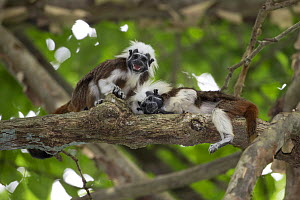 Cotton-top tamarin (Saguinus oedipus), two in tree. Northern Colombia.  -  Suzi Eszterhas