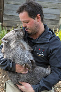 Animal carer holding Common wombat (Vombatus ursinus). The wombat was orphaned after its mother was hit by a car. To be released into wild. Bonorong Wildlife Sanctuary, Brighton, Tasmania, Australia.... - Suzi Eszterhas