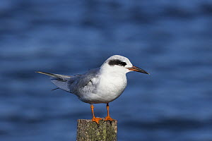 Forster's tern (Sterna forsteri) perched on post. Elkhorn Slough, Monterey Bay, California, USA. February. - Suzi Eszterhas