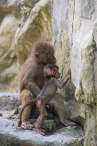 Hamadryas baboon (Papio hamadryas), mother and baby examining rock. Native to Africa. Captive.  -  Suzi Eszterhas