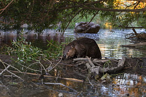 North American beaver (Castor canadensis) on dam. Martinez, California, USA. June.  -  Suzi Eszterhas