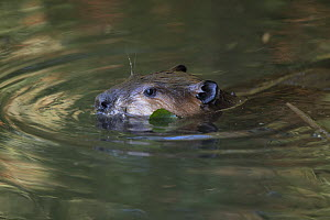 North American beaver (Castor canadensis) swimming with head above water. Martinez, California, USA. July.  -  Suzi Eszterhas
