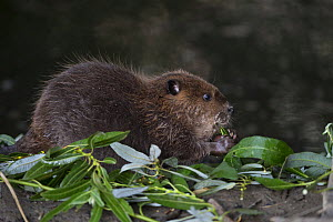 North American beaver (Castor canadensis) kit eating Willow (Salix sp). Martinez, California, USA. July.  -  Suzi Eszterhas