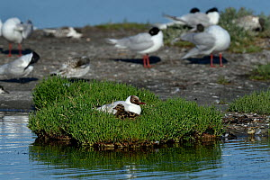 Mediterranean gull (Ichthyaetus melanocephalus) in the nest with young, Vendee, Noirmoutier, France, June - Loic Poidevin