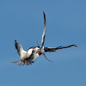 Common terns (Sterna hirundo) pair fighting in flight, Noirmoutier Island, Vendee, France, June.  -  Loic Poidevin