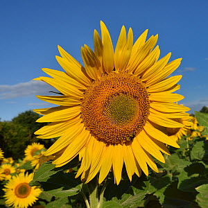 Common sunflower (Helianthus annuus) f  Vendee, France, July.  -  Loic Poidevin