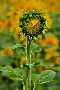 Common sunflower (Helianthus annuus) flower opening, Vendee, France, July.  -  Loic Poidevin