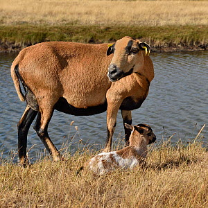 Cameroon sheep, ewe with day old lamb, Marsh of Ile d'Olonne, Vendee, France,  -  Loic Poidevin