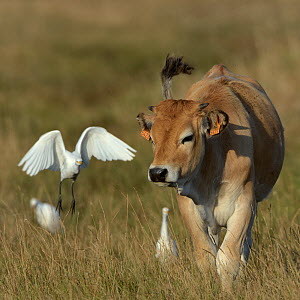 Cattle egret (Bubulcus ibis) with Maraichine cattle calf in field, Marais BretonVendee,France,August - Loic Poidevin