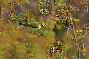Willow warbler (Phylloscopus trochilus) perched,  Marais Breton, Vendee, France, August  -  Loic Poidevin