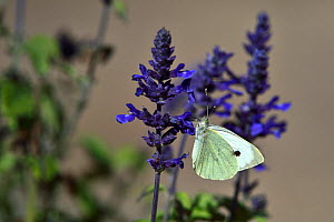 Large white butterfly (Pieris brassicae) on flowers,  Vendee, France, October.  -  Loic Poidevin