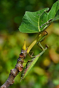 European mantis (Mantis religiosa) female, Vendee, France,October. - Loic Poidevin
