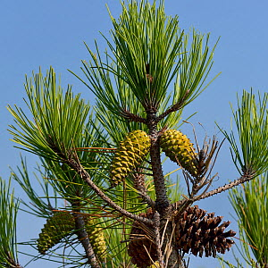 Maritime pine (Pinus pinaster) with cones, Vendee, France, August  -  Loic Poidevin