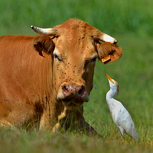 Western cattle egret (Bubulcus ibis) foraging for insects on Maraichine cow, Marais Breton, Vendee, France, August. - Loic Poidevin