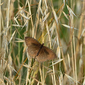 Meadow brown butterfly (Maniola jurtina) male,on a grass, Vendee, France, June. - Loic Poidevin