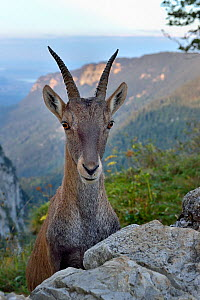 Alpine ibex (Capra ibex) female, Jura, Switzerland, September. - Loic Poidevin