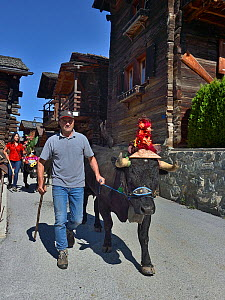 Man leading cow with large cowbell and headdress during Des Alpes des Vaches Parade, Ayer, Valais,Switzerland,September  -  Loic Poidevin
