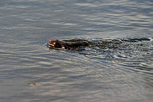 European mole (Talpa europaea) swimming In water, Lac de Neuchatel, Switzerland, September. - Loic Poidevin