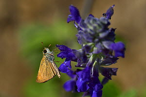 Large skipper butterfly (Ochlodes venatus) on flower, Vendee, France, July. - Loic Poidevin