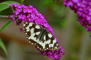 Marbled white butterfly (Melanagaria galathea) on flower, Vendee, France, July. - Loic Poidevin