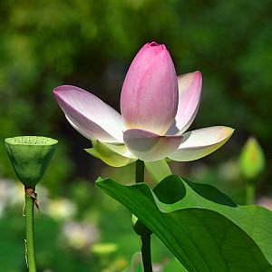 Lotus (Nelumbo nucifera) in flower in botanic garden, Vendee, France, July.  -  Loic Poidevin