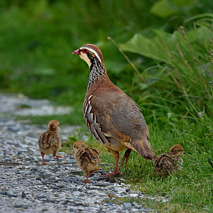 Red-legged partridge (Alectoris rufa) with chicks, Vendee, France, June  -  Loic Poidevin