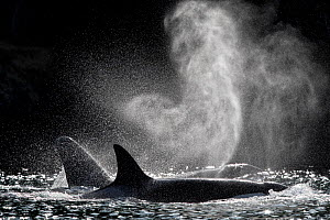 RF - Killer whale or orca (Orcinus orca) blowing or spouting. Salish Sea, Vancouver Island, British Columbia, Canada (This image may be licensed either as rights managed or royalty free.) - Mark Carwardine