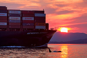 Killer whale or orca (Orcinus orca) swimming near freight ship,  Salish Sea, Vancouver Island, British Columbia, Canada  -  Mark Carwardine