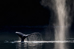 Humpback Whale (Megaptera novaeangliae) blowing or spouting and fluking, Southeast Alaska, USA, August.  -  Mark Carwardine