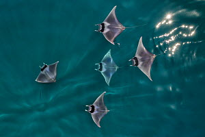 Spinetail devil rays (Mobula mobular) aerial view, ~Baja California, Mexico  -  Mark Carwardine