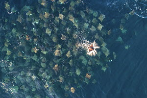 Munk's pygmy devil ray / Munk's mobula (Mobula munkiana) large school from the air with one leaping out of the water, Baja California, Mexico  -  Mark Carwardine
