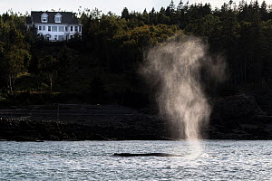 Humpback whale (Megaptera novaeangliae) - blowing or spouting near shore (in front of house) Bay of Fundy, New Brunswick, Canada - Mark Carwardine