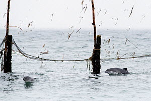 Harbour porpoises (Phocoena phocoena) trapped inside herring weir off the coast of Nancy's Head, Campobello Island, Bay of Fundy, New Brunswick, Canada. September 2018 - Mark Carwardine
