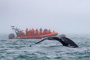 Humpback whale (Megaptera novaeangliae) tail fluke above water about to dive with whale watching boat behind, Bay of Fundy, New Brunswick, Canada - Mark Carwardine