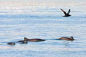 Harbour porpoises (Phocoena phocoena) - rare picture of small group Bay of Fundy, New Brunswick, Canada  -  Mark Carwardine