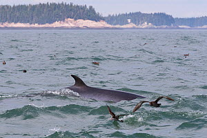 Common minke whale (Balaenoptera acutorostrata) Bay of Fundy, New Brunswick, Canada  -  Mark Carwardine