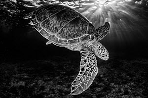 Green turtle (Chelonia mydas) with rays of sunlight, black and white image, Akumal, Caribbean Sea, Mexico, July. Second place in the Visions of our Nature 2018.  -  Claudio  Contreras