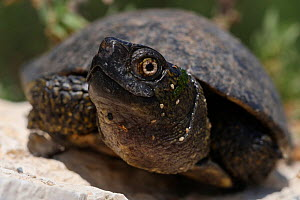 Alligator snapping turtle (Macrochelys temminckii) captive  -  Mark  Bowler