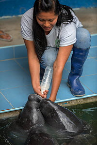 Woman bottle feeding Amazonian manatees (Trichechus inunguis) at CREA rehabilitation centre, Iquitos, Peru. - Mark  Bowler