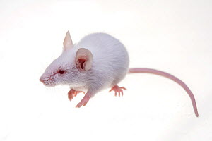 White mouse on white background. - Mark  Bowler