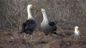 Pair of Waved albatrosses (Phoebastria irrorata) displaying, tapping beaks,  Galapagos Islands, Ecuador.  -  Sandesh  Kadur
