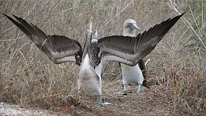 Wide angle shot of a pair of Blue footed boobies (Sula nebouxii) displaying, Galapagos Islands, Ecuador. - Sandesh  Kadur
