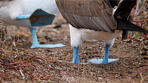 Close-up of the feet of a pair of Blue footed boobies (Sula nebouxii) during courtship display, Galapagos Islands, Ecuador.  -  Sandesh  Kadur