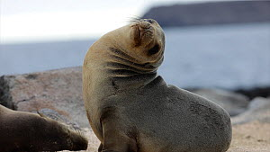 Galapagos sealion (Zalophus wollebaeki) hauled out on the shore, Galapagos Islands, Ecuador.  -  Sandesh  Kadur