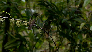 Buff-tailed coronet (Boissonneaua flavescens) perched on a branch, with another one arriving, Ecuador.  -  Sandesh  Kadur