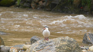 Torrent duck (Merganetta armata) perched on a rock in a river, Ecuador. - Sandesh  Kadur