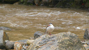 Torrent duck (Merganetta armata) perched on a rock in a river, standing on one leg, Ecuador. - Sandesh  Kadur